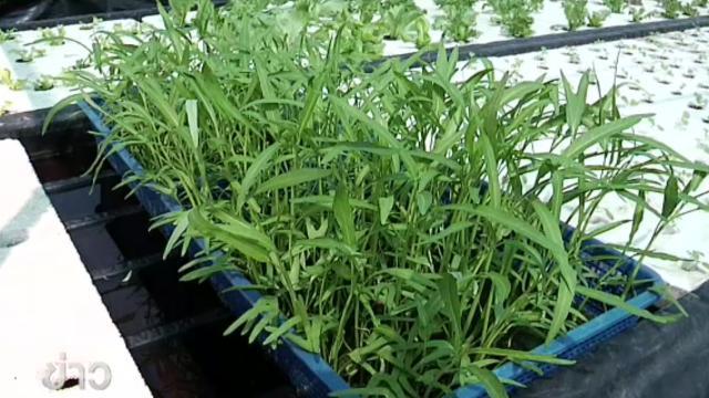 ปลูกผักบุ้งจีนในตะกร้าโตในน้ำ-โตไวดูแลไม่ยุ่งยาก