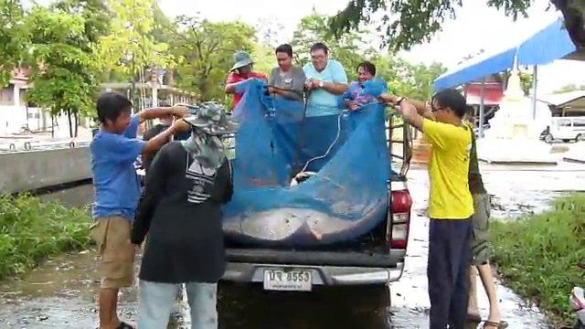 จนท.เร่งตรวจสอบปลากระเบนตายในแม่น้ำแม่กลอง จ.สมุทรสงคราม