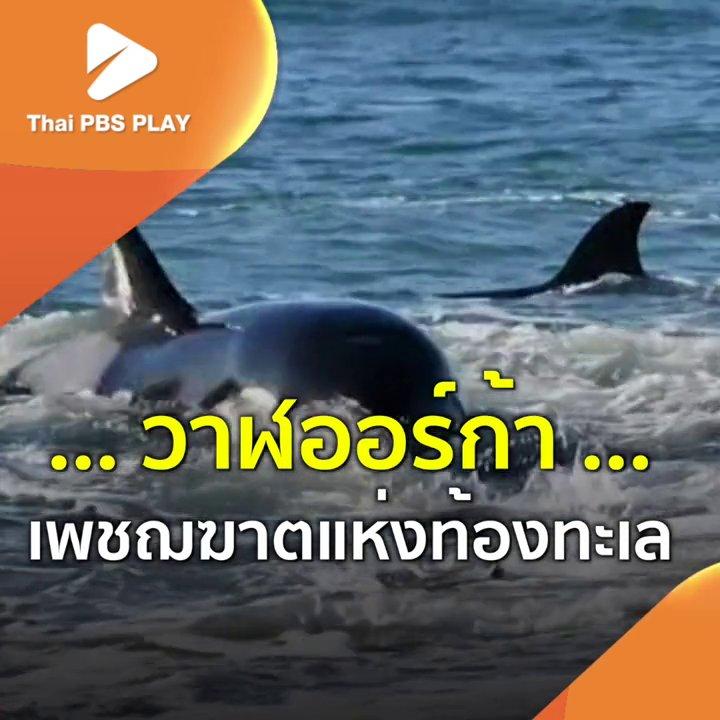 วาฬออร์ก้า เพชฌฆาตแห่งท้องทะเล