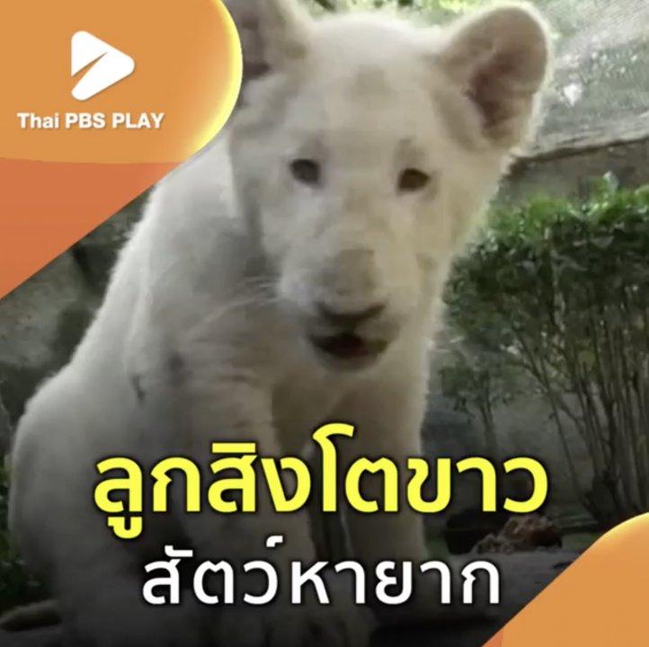 ลูกสิงโตขาว สัตว์หายาก