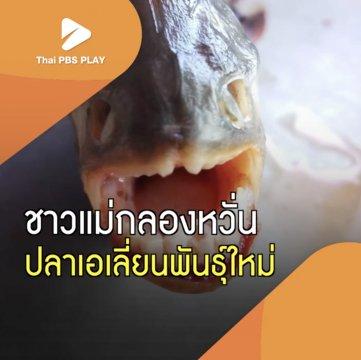 ชาวแม่กลองหวั่น ปลาเอเลี่ยนพันธุ์ใหม่