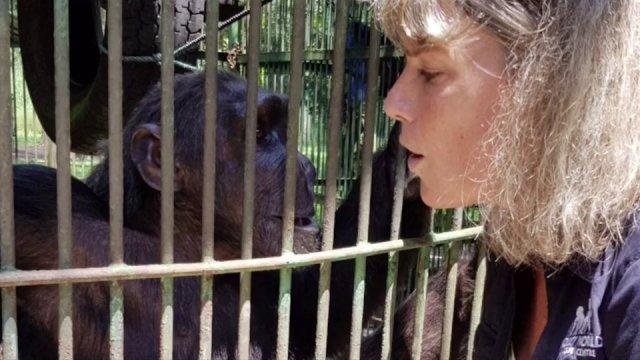 """ไทยมอบ """"นาตาลี"""" ชิมแปนซีไปอยู่ Monkey World Ape อังกฤษ"""
