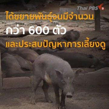 หมูป่า 600 ตัวในสำนักสงฆ์ จ.เพชรบูรณ์ ขาดแคลนอาหาร