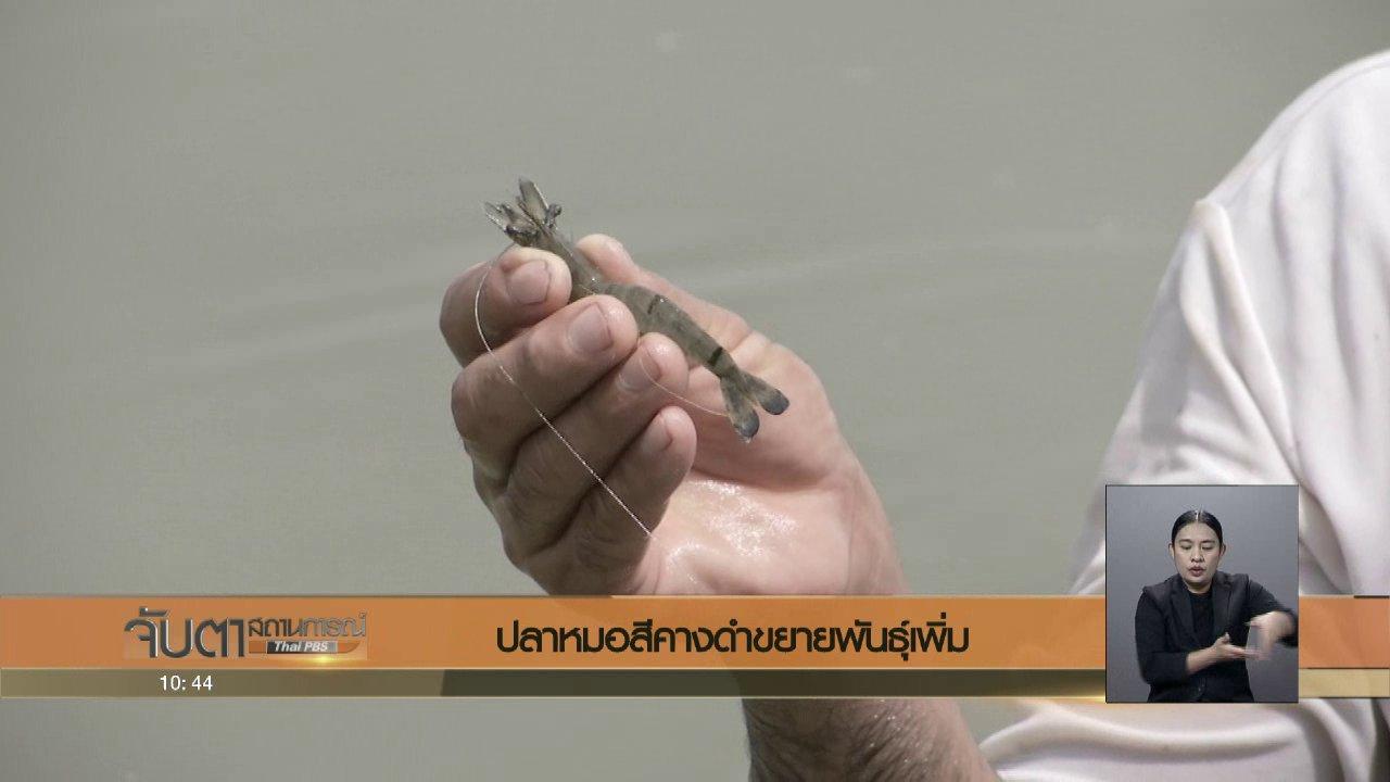 จับตาสถานการณ์ - ปลาหมอสีคางดำขยายพันธุ์เพิ่ม