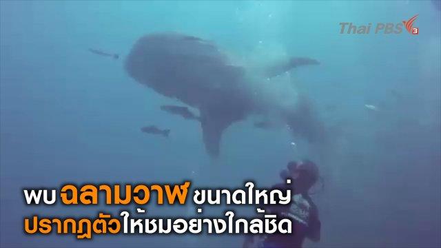 ฉลามวาฬ ปรากฎตัวที่เกาะทะลุ