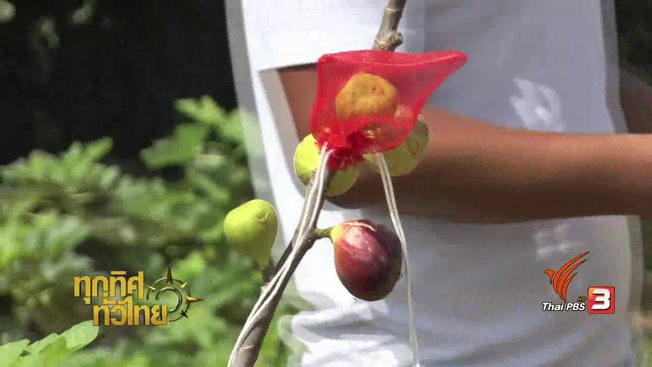 ทุกทิศทั่วไทย - อาชีพทั่วไทย : การเพาะพันธุ์ต้นมะเดื่อฝรั่ง