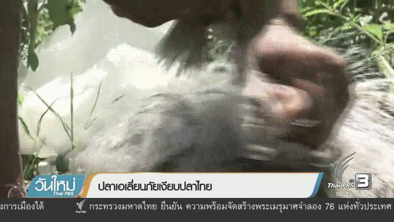 วันใหม่  ไทยพีบีเอส - ปลาเอเลี่ยนภัยเงียบปลาไทย