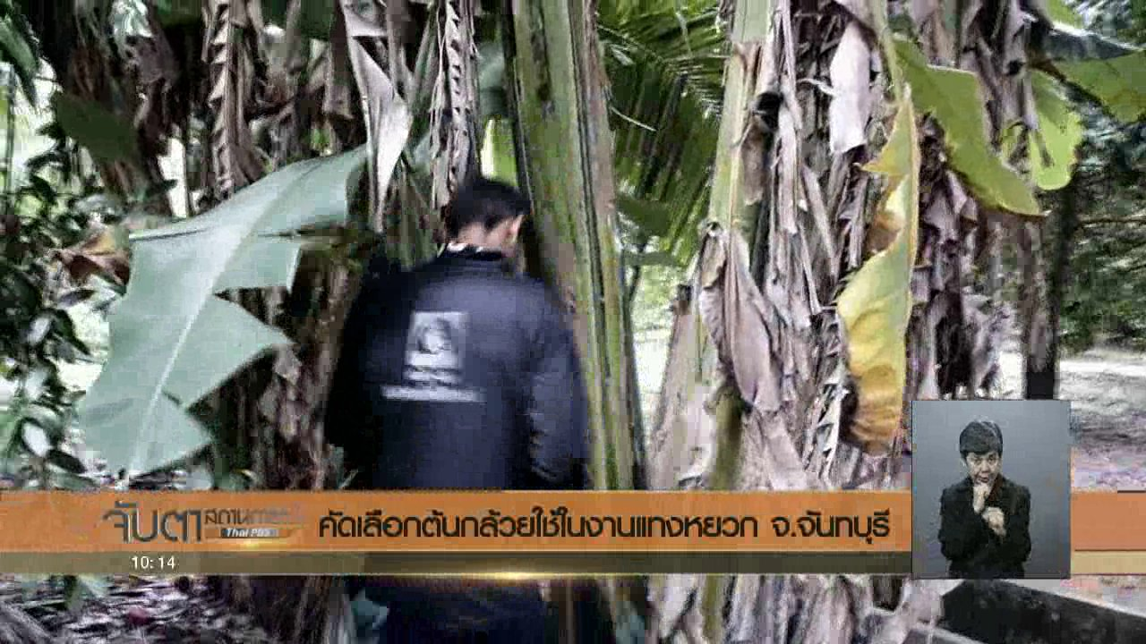 จับตาสถานการณ์ - คัดเลือกต้นกล้วยใช้ในงานแทงหยวก จ.จันทบุรี