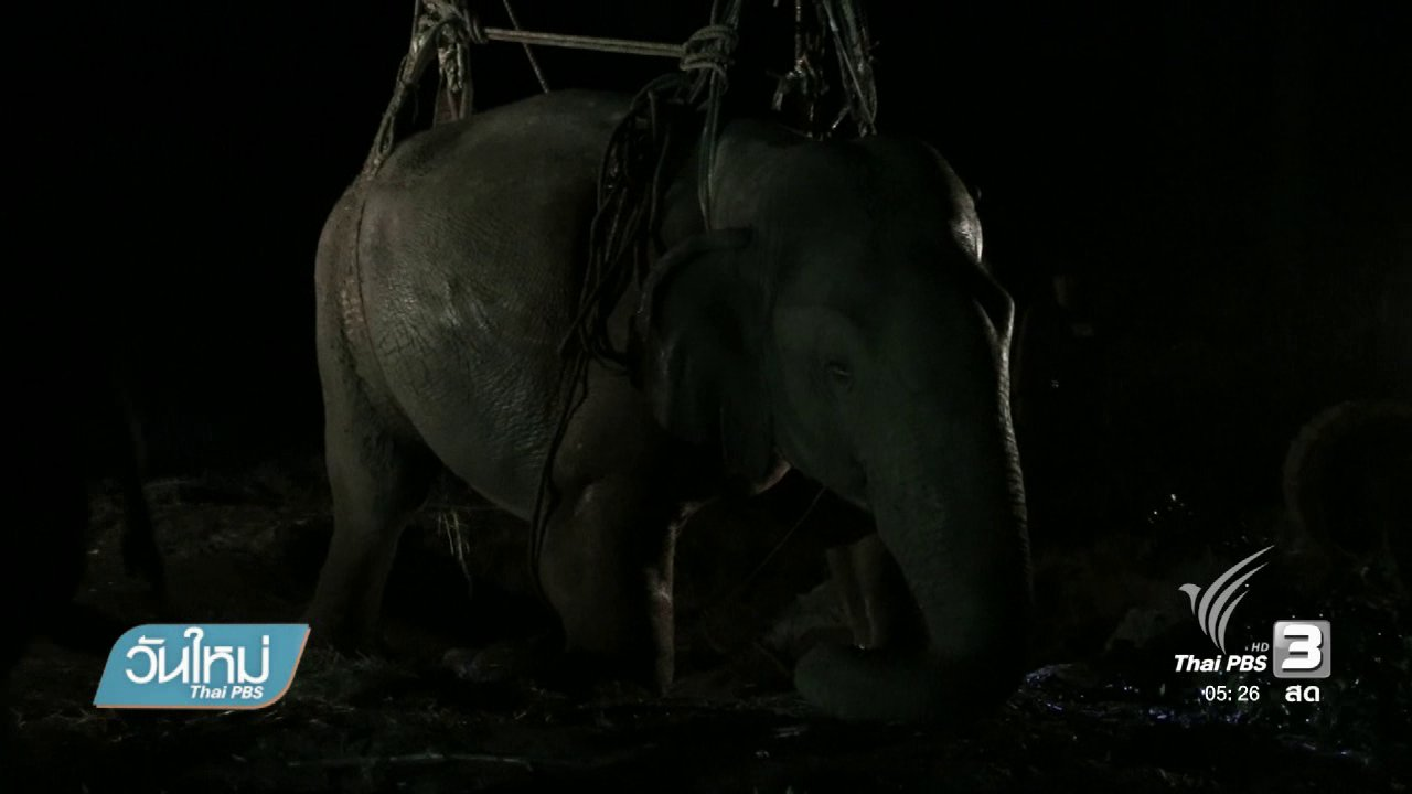 วันใหม่  ไทยพีบีเอส - ทีมสัตวแพทย์ช่วยพยุงช้างป่าลุกขึ้นยืนได้สำเร็จ