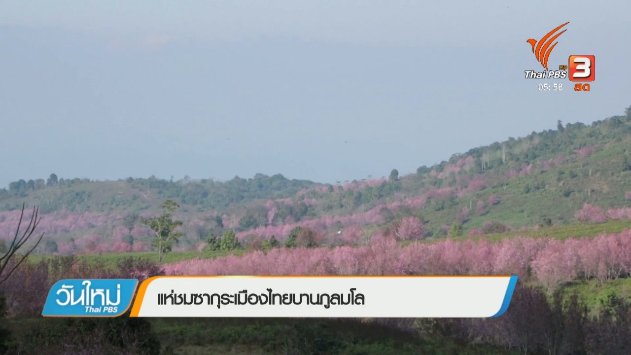 วันใหม่  ไทยพีบีเอส - แห่ชมซากุระเมืองไทยบานภูลมโล