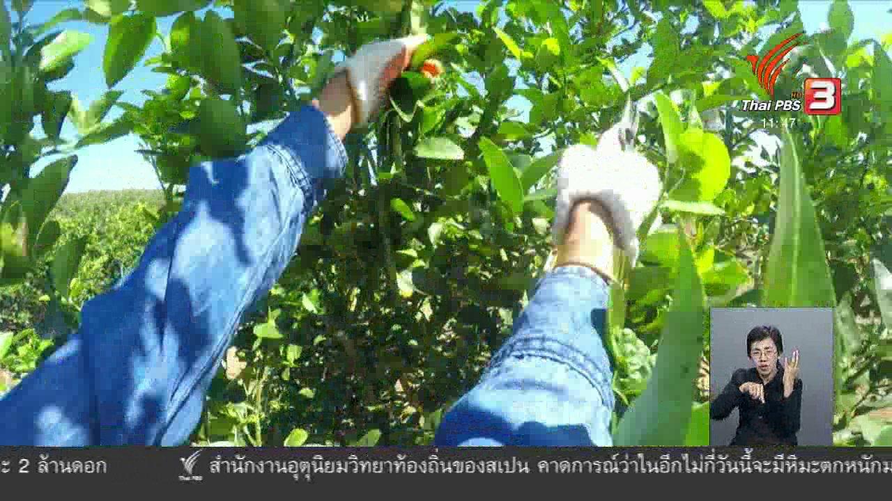 จับตาสถานการณ์ - ตะลุยทั่วไทย : ปลูกมะนาวส่งออก