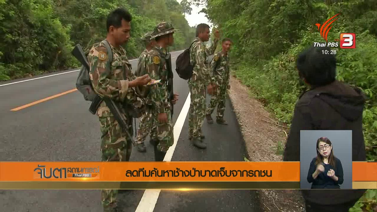 จับตาสถานการณ์ - ลดทีมค้นหาช้างป่าบาดเจ็บจากรถชน