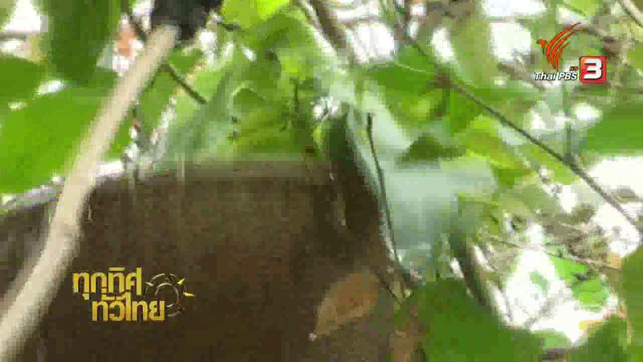 ทุกทิศทั่วไทย - วิถีทั่วไทย: แหย่ไข่มดแดงที่ป่าครอบครัว จ.กาฬสินธุ์
