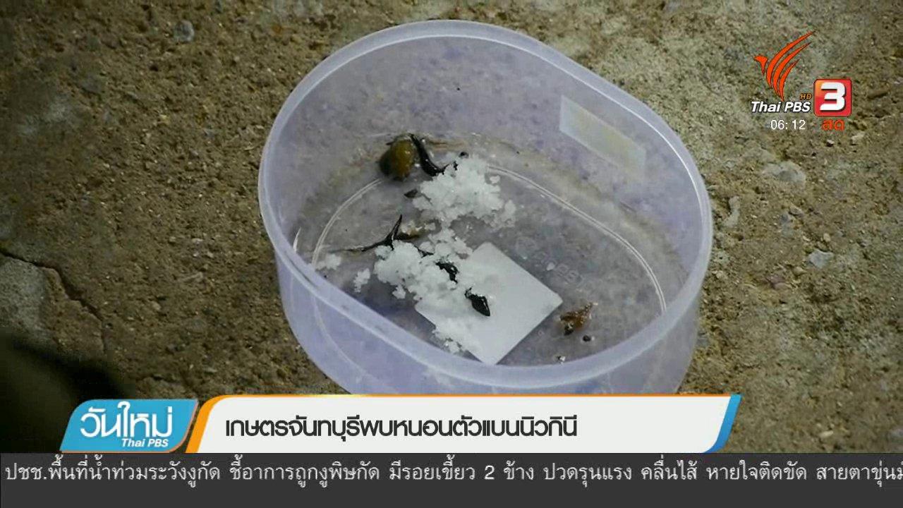 วันใหม่  ไทยพีบีเอส - เกษตรจันทบุรีพบหนอนตัวแบนนิวกินี