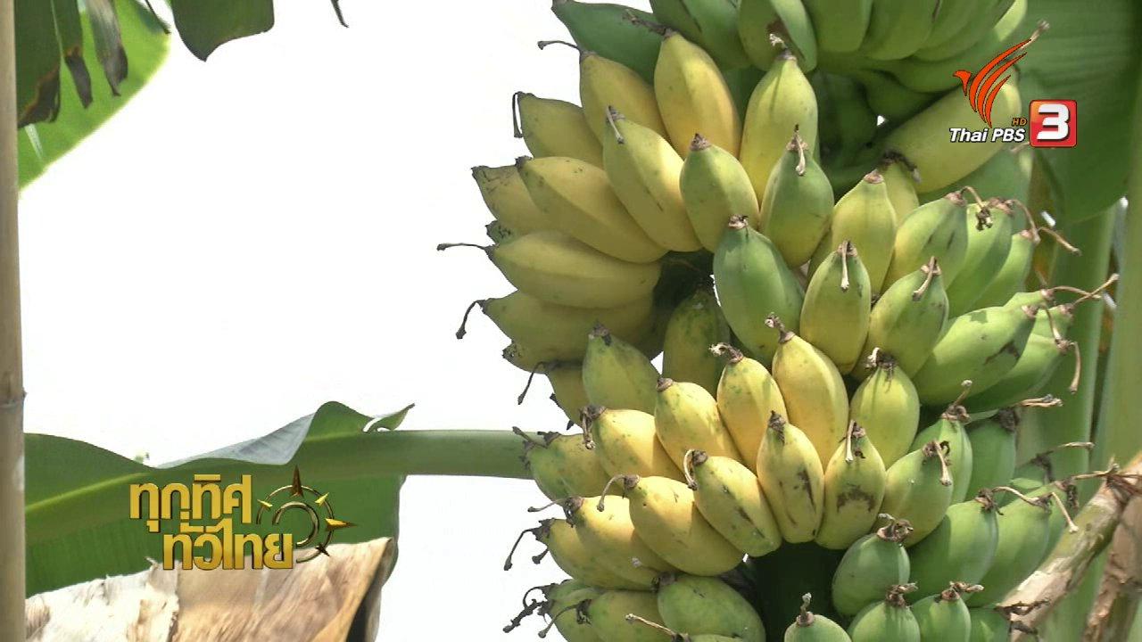 ทุกทิศทั่วไทย - อาชีพทั่วไทย : กล้วยน้ำว้ายักษ์ทุกทิศทั่วไทย