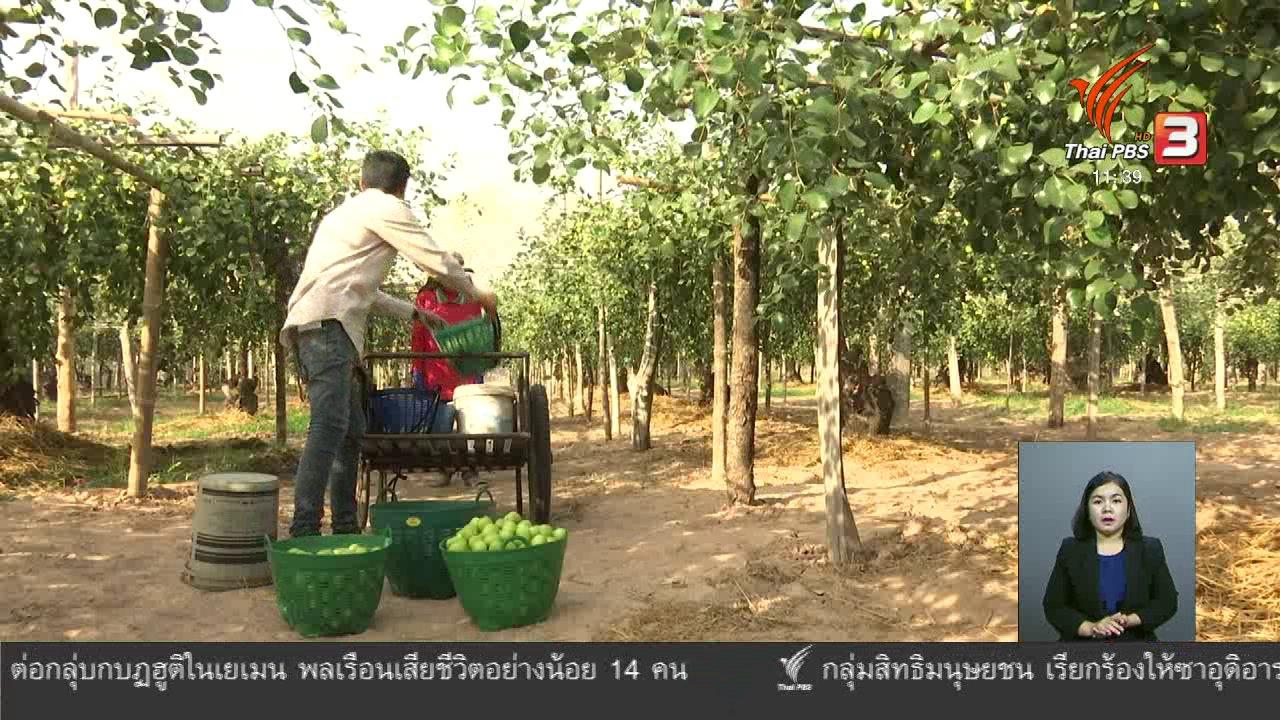 จับตาสถานการณ์ - ตะลุยทั่วไทย : ปลูกพุทรานมสด