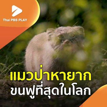 แมวป่าหายาก ขนฟูที่สุดในโลก
