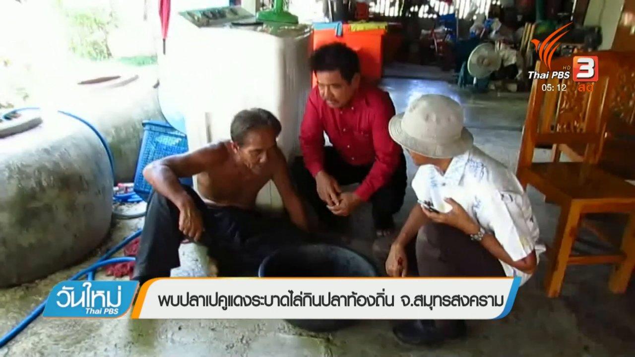 วันใหม่  ไทยพีบีเอส - พบปลาเปคูแดงระบาดไล่กินปลาท้องถิ่น จ.สมุทรสงคราม