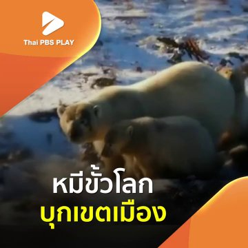 หมีขั้วโลกบุกเขตเมือง