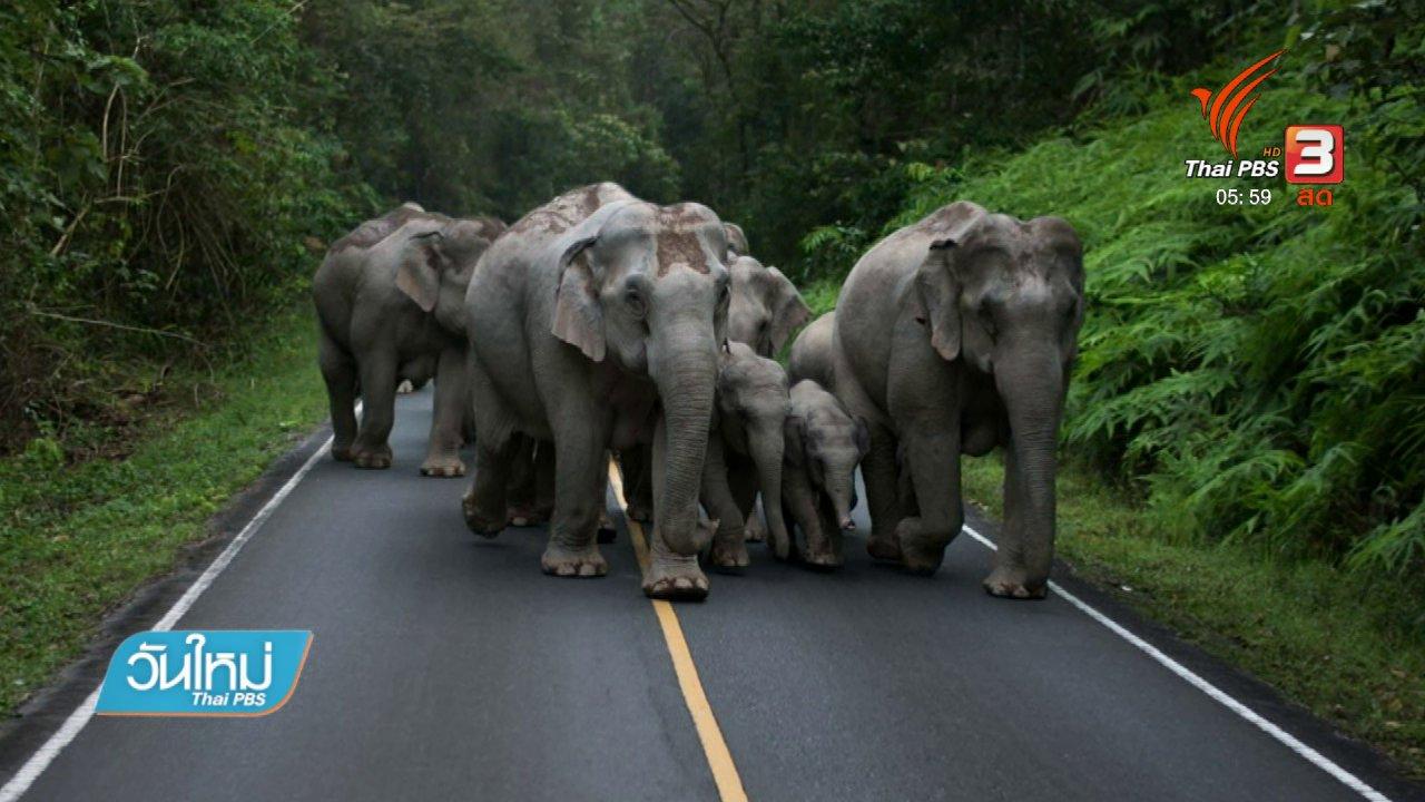 วันใหม่  ไทยพีบีเอส - ช้างป่าโขลงใหญ่ออกหากินรับลมหนาวบนเขาใหญ่