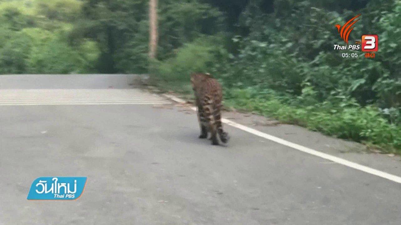 วันใหม่  ไทยพีบีเอส - พบเสือดาวเดินบนถนนบ้านกร่าง อช.แก่งกระจาน