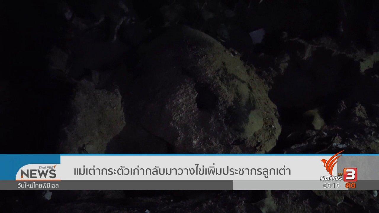 วันใหม่  ไทยพีบีเอส - แม่เต่ากระตัวเก่ากลับมาวางไข่เพิ่มประชากรลูกเต่า