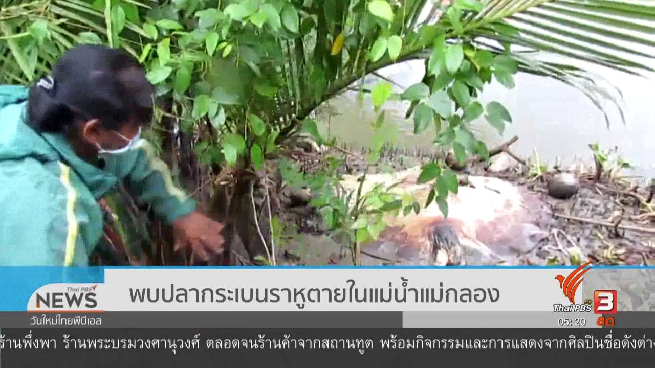 วันใหม่  ไทยพีบีเอส - พบปลากระเบนราหูตายในแม่น้ำแม่กลอง