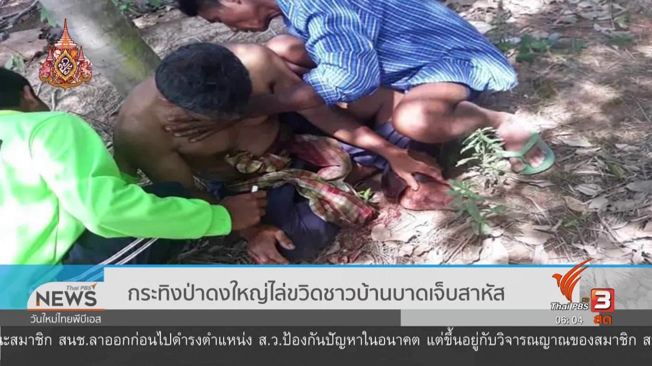 วันใหม่  ไทยพีบีเอส - กระทิงป่าดงใหญ่ไล่ขวิดชาวบ้านบาดเจ็บสาหัส