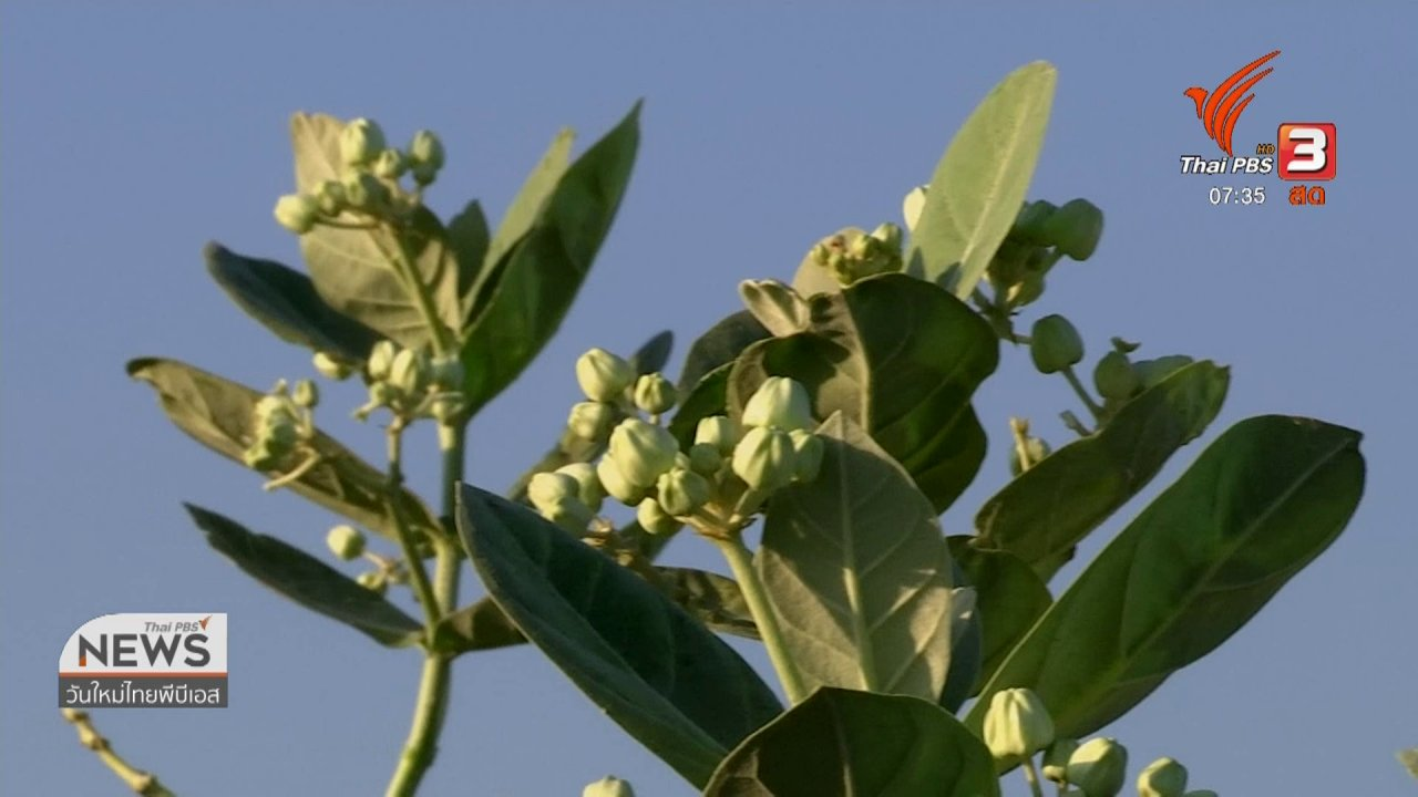 วันใหม่  ไทยพีบีเอส - ทำมาหากิน ดินฟ้าอากาศ : ดอกรักสดราคาดี แต่ให้ผลผลิตน้อยในฤดูหนาวนี้