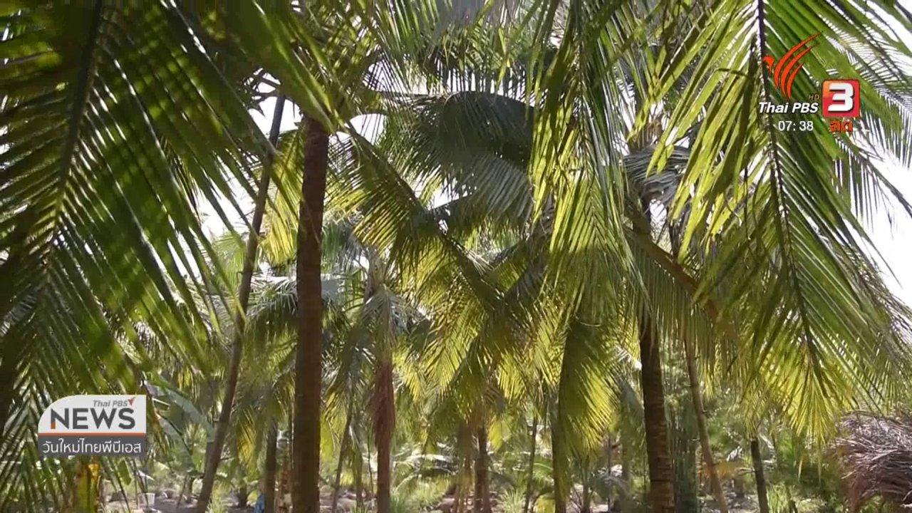 วันใหม่  ไทยพีบีเอส - ทำมาหากิน ดินฟ้าอากาศ : ผลผลิตมะพร้าวน้ำหอม จ.สมุทรสงคราม