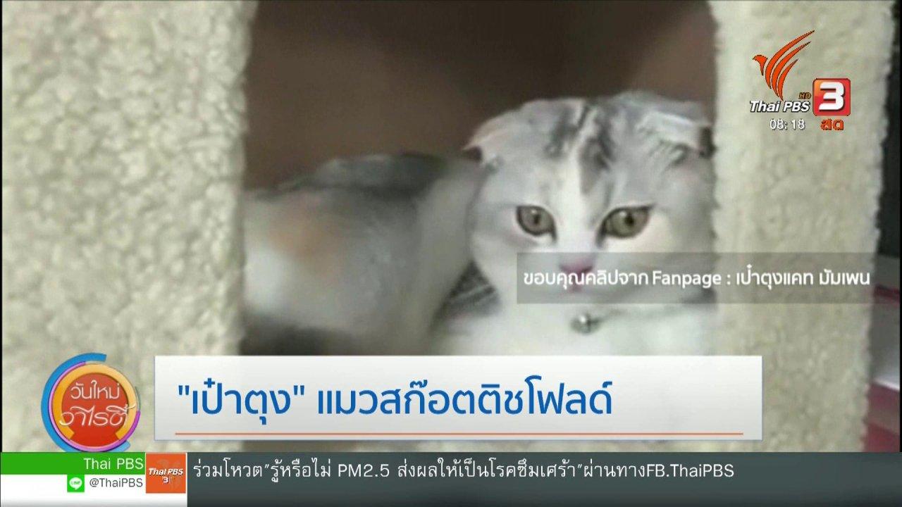 """วันใหม่วาไรตี้ - จับตาข่าวเด่น : """"เป๋าตุง"""" แมวสก็อตติชโฟลด์"""