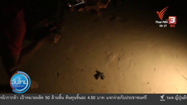 เต่ามะเฟืองชายหาดในทอน ฟักตัวลงสู่ทะเล