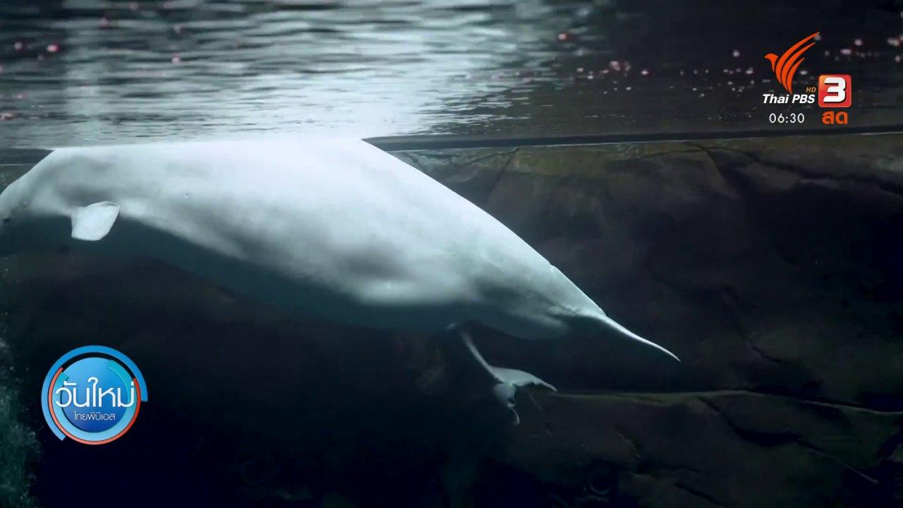 วันใหม่  ไทยพีบีเอส - ลูกวาฬเบลูกาคลอดออกจากท้องแม่