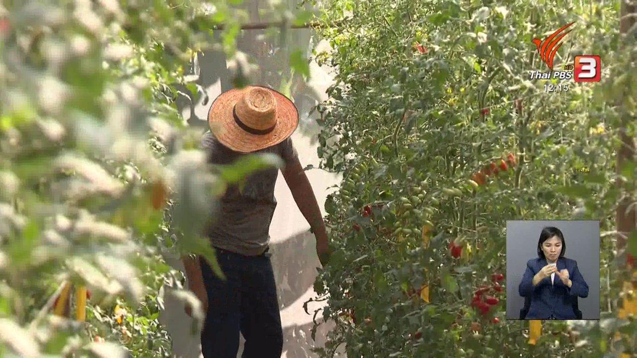 จับตาสถานการณ์ - ตะลุยทั่วไทย : ปลูกมะเขือเทศเชอรี่