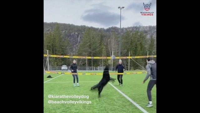สุนัขโชว์ความสามารถพิเศษเล่นวอลเลย์บอล