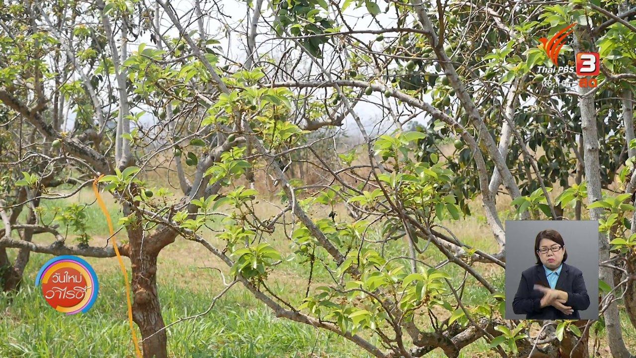 วันใหม่วาไรตี้ - จับตาข่าวเด่น : อะโวคาโด พืชเศรษฐกิจทางเลือกใหม่