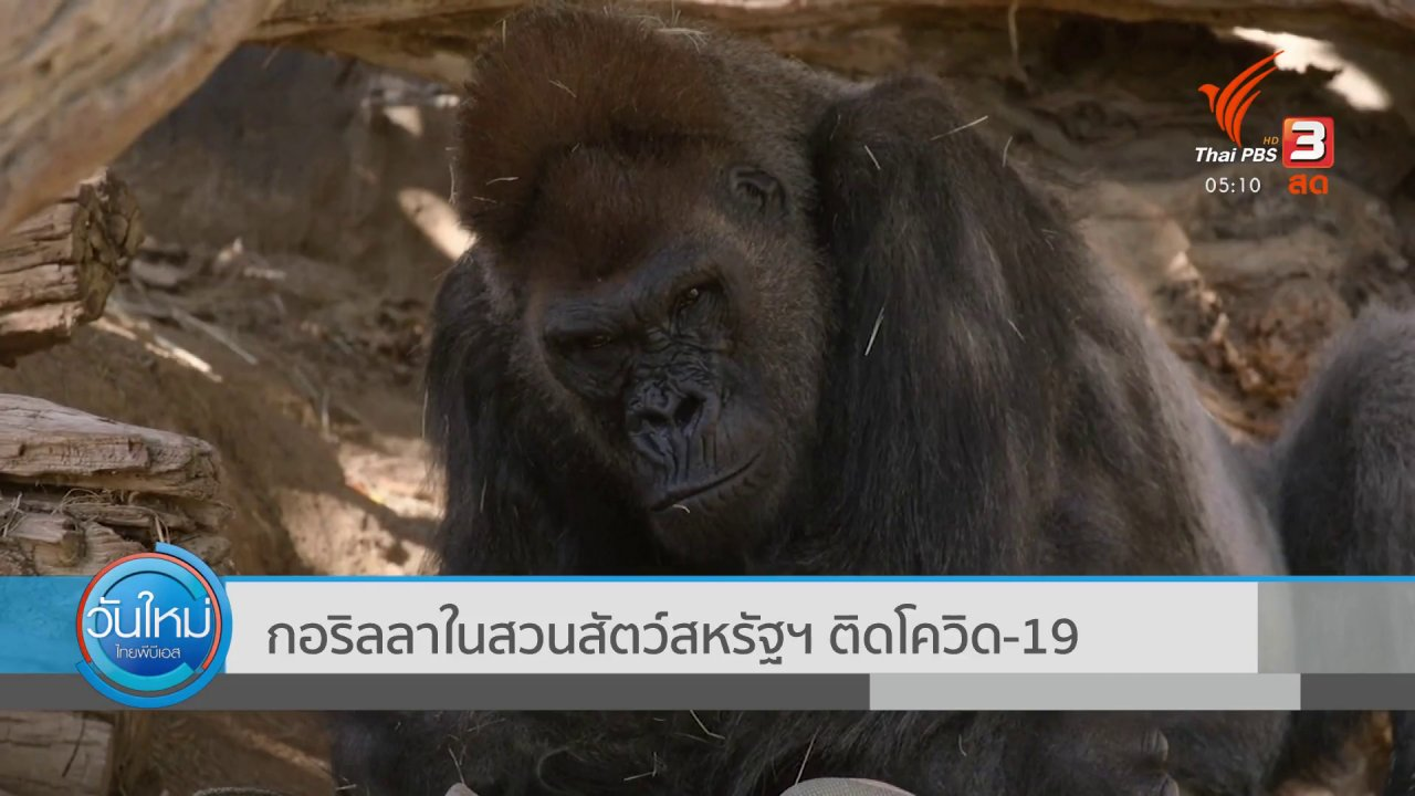 กอริลลาในสวนสัตว์สหรัฐฯ ติด COVID-19