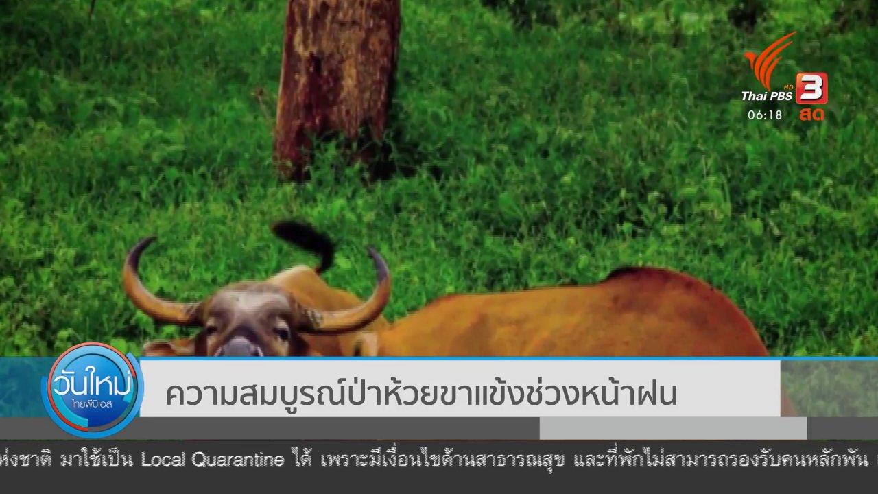 พบฝูงวัวแดงกว่า 40 ตัว ออกหากินในป่าห้วยขาแข้ง