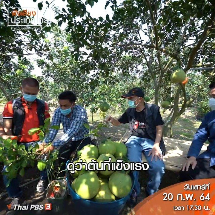 ฟังเสียงประเทศไทย - รากเทียม ภูมิปัญญาสวนส้มโอขาวใหญ่อัมพวา